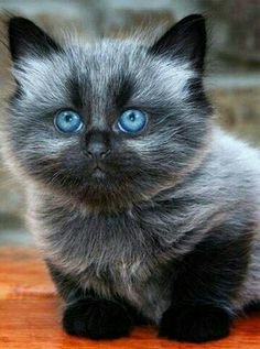 Not all cats will tolerate clothing, but sometimes we want to provide our kitties with some anxiety relief. Cute Cats And Kittens, Baby Cats, Cool Cats, Kittens Cutest, Pretty Cats, Beautiful Cats, Animals Beautiful, Cute Baby Animals, Animals And Pets