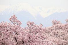 508:「今までに、見たことがないくらい、さくらの花が多いです。」@高遠城址公園
