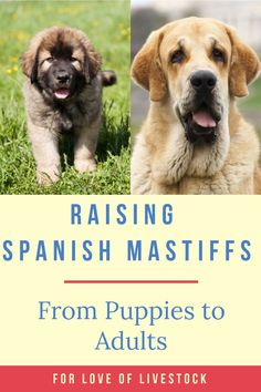 Spanish Mastiffs are laid back, loving, and excellent at guarding households. They make the perfect pets for families willing to train a large breed dog. For information on raising Spanish Mastiffs, take a look at this article! #spanishmastiff #pets #dogs Mastiff Puppies, Chihuahua Puppies, Dogs And Puppies, Spanish Mastiff, Raising Farm Animals, Shelter Dogs, Animal Shelter, Animal Rescue, Farm Dogs