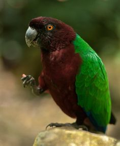 Maroon or Red Shining Parrot, or Red-breasted Musk Parrot - endemic to islands of Vanua Levu & Taveuni in Fiji
