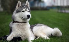 #Pomsky Adult dog looks the smartest among other dogs.  Pomsky #Price of dogs are always the best compare to other dogs. Pomsky Full grown dog features are the most attractive and so cute that you cannot ever think of another breed dog.