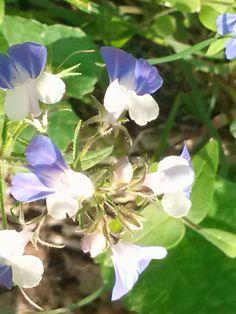 Wildflowers in Audubon Park, Henderson, KY