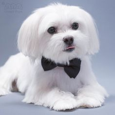 Going to a wedding! All I need is a simple and elegant bow tie! Bow tie info  http://ift.tt/1WNCw0K #wedding#bowtie#collar#dogcollar#dogbowtie #picoftheday#puppylove#doglover#whitedog#weeklyfluff#maltese#pomeranian#yorkie#chihuahua#shihtzu#poodle#pug#frenchie#dachshund#morkie#cute by unitedpups