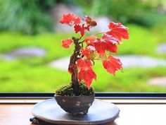 SUCH a beautiful bonsai