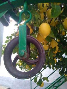 Limones ....