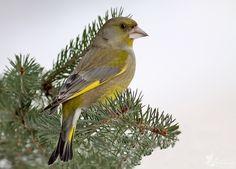 zvonek zelený/ carduelis chloris/ greenfinch