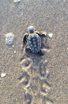 Baby Animals Super Cute, Cute Little Animals, Cute Funny Animals, Cute Pets, Baby Sea Turtles, Cute Turtles, Save The Sea Turtles, Turtle Baby, Baby Animals Pictures