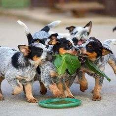 "Australian Cattle-Dog Puppy Dogs attacking ""loco"" weed :D"