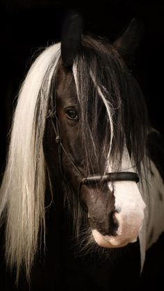 Irish Cob  ... what a beautiful face