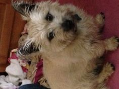 Colby cairn terrier