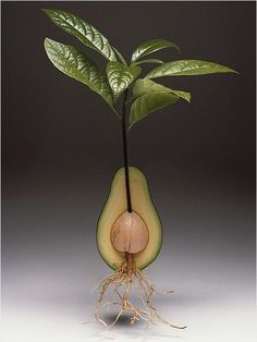 photo of an avocado tree growing out of a fruit ... The 25 Best Indoor Plants ...