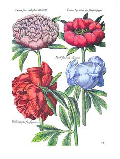 PÆONY FLORE MULTIPLICI ALBICANTE. Possibly from Hortus Eytettensis by Basilius Besler (c.1595)