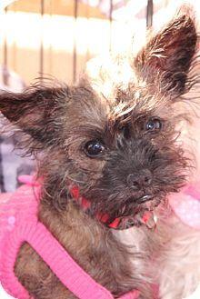Gilbert, AZ - Miniature Schnauzer/Chihuahua Mix. Meet Cookie a Puppy for Adoption.
