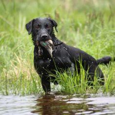 #labrador #retriever #vauhti-noudon #kennel #working