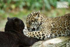 Les deux bébés #jaguars, Sanga la femelle (à gauche) et Kumal le mâle (à droite), ont effectué une première sortie dans leur enclos extérieur le 18 juin 2013.