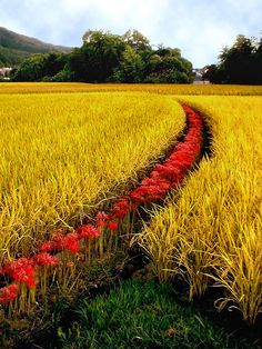 ~~red stripe rice field | farm landscape, Japan by Mr. Mark~~