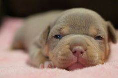 Adorable Pitbull Puppy dachshund silhouette, dachshund puppy long haired, celebrities with dachshunds Bully Pitbull, Pitbull Terrier, Cute Baby Animals, Animals And Pets, Pet Dogs, Dog Cat, Doggies, Cute Puppies, Dogs And Puppies