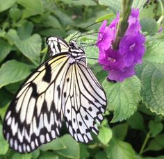 The paper kite butterfly is one of my very favorite butterflies.  They are black and white, but large and lovely.  They are attracted to beautiful, colorful flowers and a joy to observe.