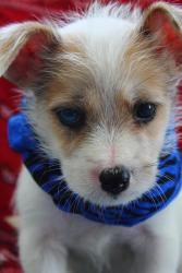 Carter is an adoptable West Highland White Terrier Westie Dog in Lakeland, FL. Hey what's up my name is Carter, and I'm one of the cutest pups ever! I'm playful, and just itching to show you some pupp...