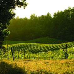 Spring Mountain, Ca. Outside of the Napa Valley , Those are Redwood trees surrounding the vineyard.