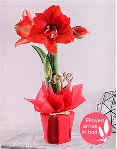 Red Amaryllis Love P