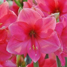Wer pinkfarbene Amaryllis mag, wird 'Adele' lieben. Die Zwiebeln kommen ab November in die Pflanzgefäße und blühen dann als Zimmerpflanze mitten im Winter - online erhältlich bei www.fluwel.de