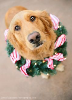Christmas Golden Retriever Merry Christmas Card Puppy Holiday Dogs Santa Claus Dog Puppies Xmas