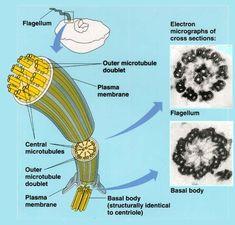 Eukaryotic flagella have a 9+2 microtubule arrangement