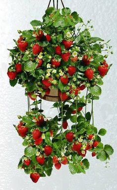 Strawberry plants can be planted in a hanging basket which keeps slugs, snails & rabbits from getting to the strawbe… Strawberry Hanging Basket, Strawberry Planters, Strawberry Garden, Fruit Garden, Edible Garden, Garden Pots, Vertikal Garden, Plantas Bonsai, Home Vegetable Garden