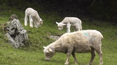 pagewoman:  Ewe and Lambs