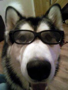 Husky with glasses :)