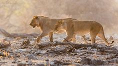 Retreating Lions by Susieb. @go4fotos