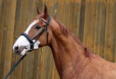 ET, 2009, Couleur Rouge x Herannus, JUMPER » Horses for sale | OLDSTAJ s.r.o.