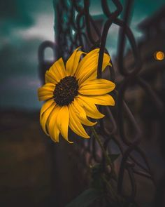 Image shared by Jy Rose. Find images and videos about sunflower on We Heart It - the app to get lost in what you love. Flower Wallpaper, Iphone Wallpaper, Iphone Tela, Plants Are Friends, Cute Wallpapers, Aesthetic Wallpapers, Photos, Pictures, Nature Photography
