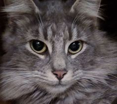 Buttermilk is an adoptable norwegian forest cat searching for a forever family near East Stroudsburg, PA. Use Petfinder to find adoptable pets in your area.