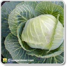 Cabbages thrive when planted with herbs such as dill, mints, rosemary, thyme, an… – Modern Design - Modern Winter Vegetables, Planting Vegetables, Growing Vegetables, Vegetable Garden, Companion Planting Chart, Companion Gardening, Growing Cabbage, Mint Garden, Pepper Plants