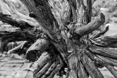Gnarly Stump - http://keithbridges.photography/dailies/20150211/922