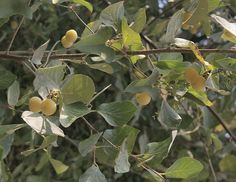 """Styrax (Styrax officinalis) - Native to eastern Mediterranean region. Sometimes referred to as """"Sweet Styrax."""" Arabs used it's smoke to drive away snakes during olibanum collection. During Middle Ages, Brits used it in incense and pomanders. Usages also mentioned in Ancient Egyptian, Roman and Arabic perfumery."""