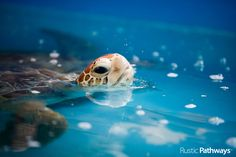 Sea turtle | AUSTRALIA | Photo Credit: Michael Forster Rothbart