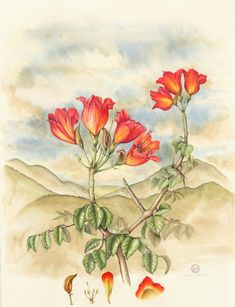 African Tulip Tree - Collection of botanical illustrations of flowers by Wendy Hollender.