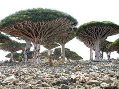 Dragon's blood trees on Socotra Island, Yemen (1/3 of the plants on this island are not found anywhere else on Earth)
