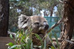 Have you ever cuddle a koala? - check it out https://pinkbucketlist.com