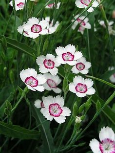 "Dianthus 'Arctic Fire' - A heavy bloomer that is well suited for the front of border or rock gardens. Blooms all summer. Height 6"". Zones 3-9"