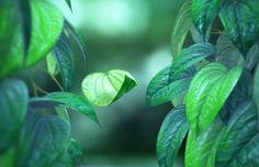 Fungsi Dan Manfaat Daun Sirih Serta Ciri Ciri Daun Sirih Cara Sehat Alami Kesehatan Alami Kesehatan Alam