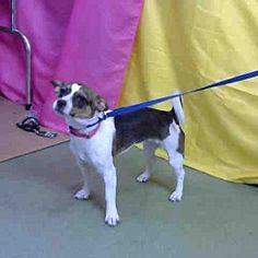 URGENT 1/29 @ DEVORE, San Bernardino, California - Chihuahua.a for adoption. https://www.adoptapet.com/pet/20656988-san-bernardino-california-chihuahua-mix