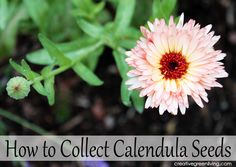 How to collect calendula seeds from your garden (this same process works with lots of different kinds of flower seeds! Calendula, Garden Seeds, Succulents Garden, Herb Garden, Lawn And Garden, Herb Companion Planting, Sunflower House, Types Of Herbs, Growing Seeds