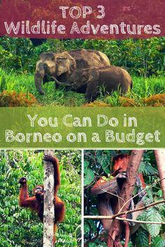 Top 3 Wildlife Experiences You Can Do in Borneo on a Budget, includes Elephant (Kinabatangan River), Oranguatang (Semenggoh), and Proboscis monkey (Bako National Park)