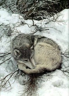 Cute wolf all curled up in the snow!