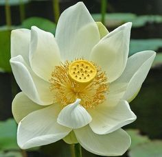 Gorgeous white lotus with golden center