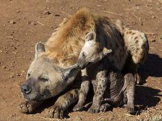 Hiena z potomkiem